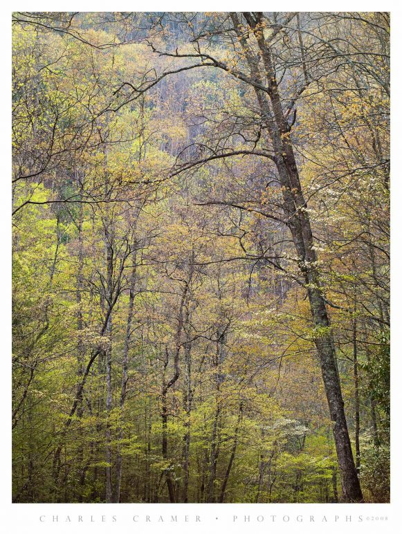 Spring Canopy, Great Smoky Mountains