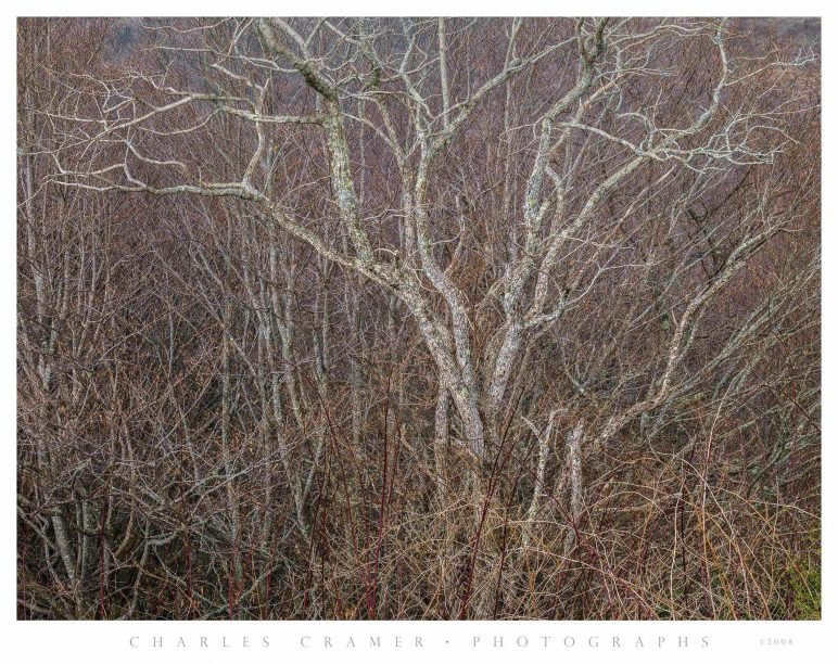 Bare Trees, Early Spring, Great Smoky Mountains