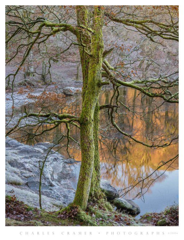 Tree, Frosty Morning, Derwentwater, England