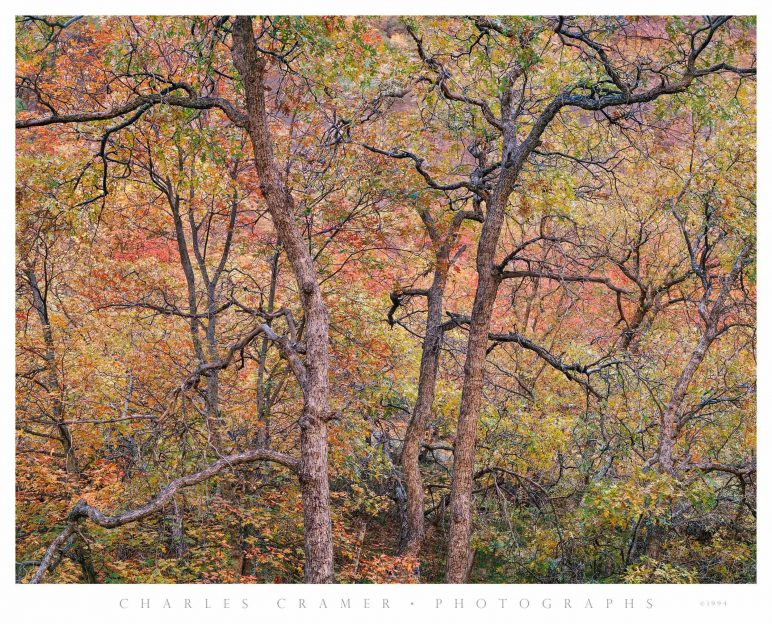 Tree Detail,  Autumn,  Zion Valley, Utah