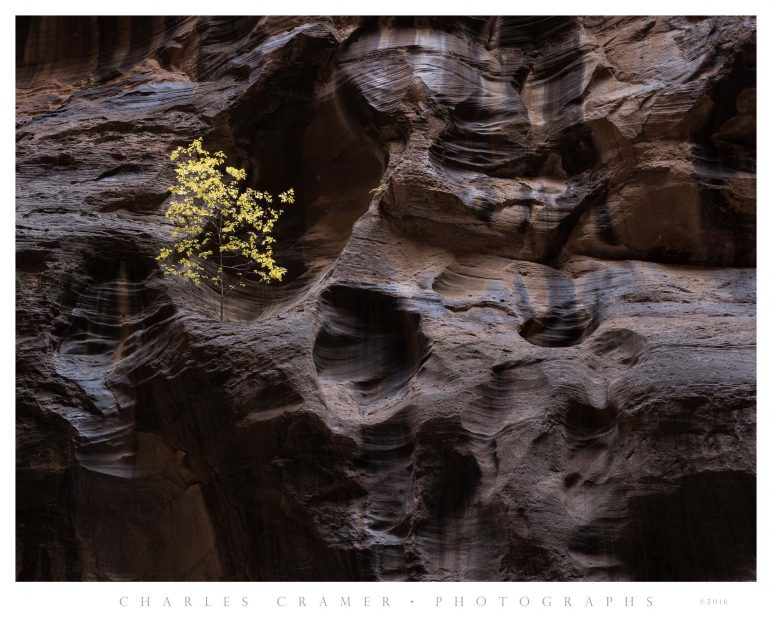 Lone Tree, Virgin River Narrows, Zion