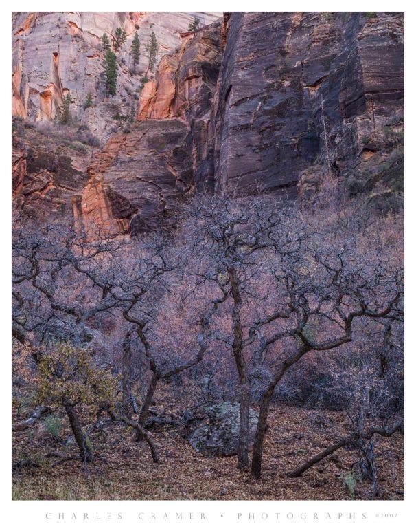 Oaks Below Cliffs, Zion National Park