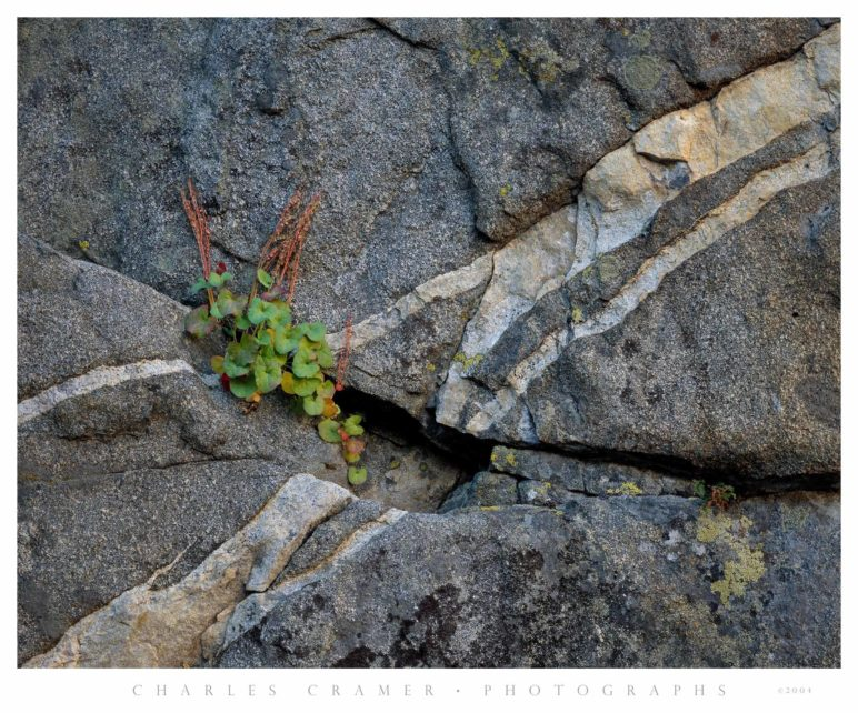 Mountain Sorrel and Granite Wall, Ten Lakes Basin, Yosemite