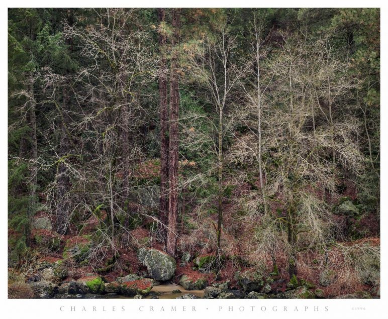 Bare Trees, Early Spring, Merced River, Yosemite
