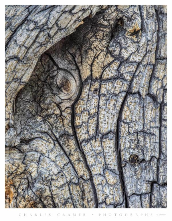 Snag detail, Cathedral Lakes, Yosemite
