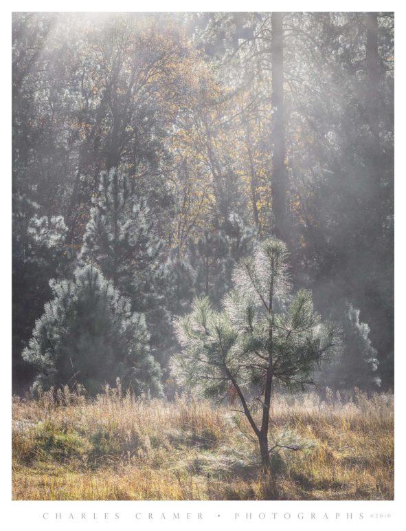 Mist, Backlit Trees, El Capitan Meadow, Yosemite