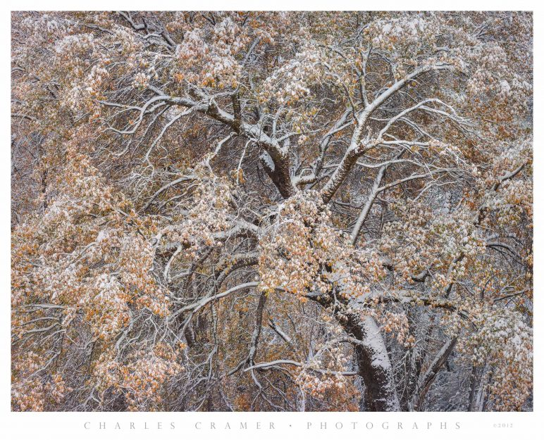 Leaning Oak, Autumn Snow, Yosemite Valley
