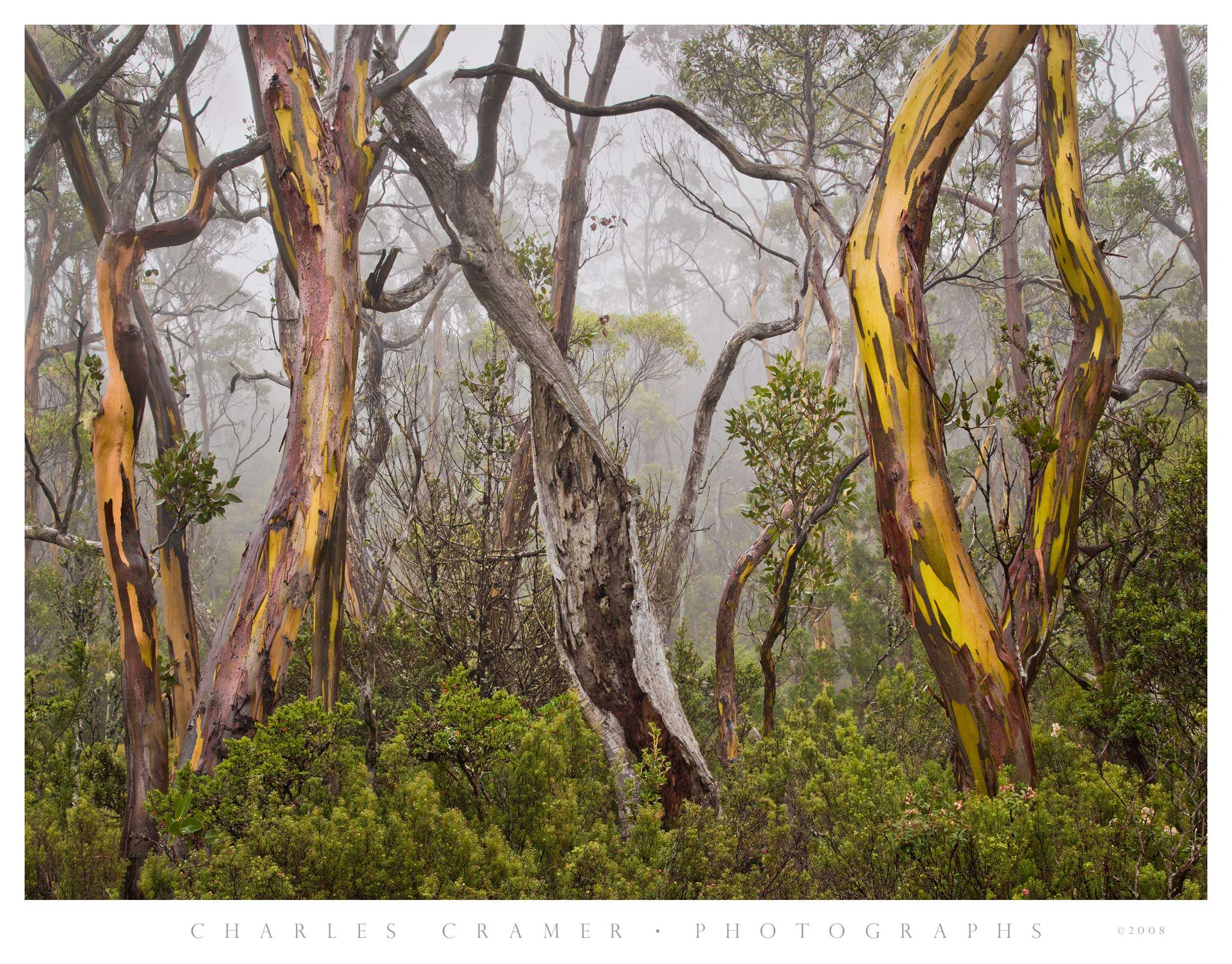 Gums in Fog, Cradle Mountain, Tasmania