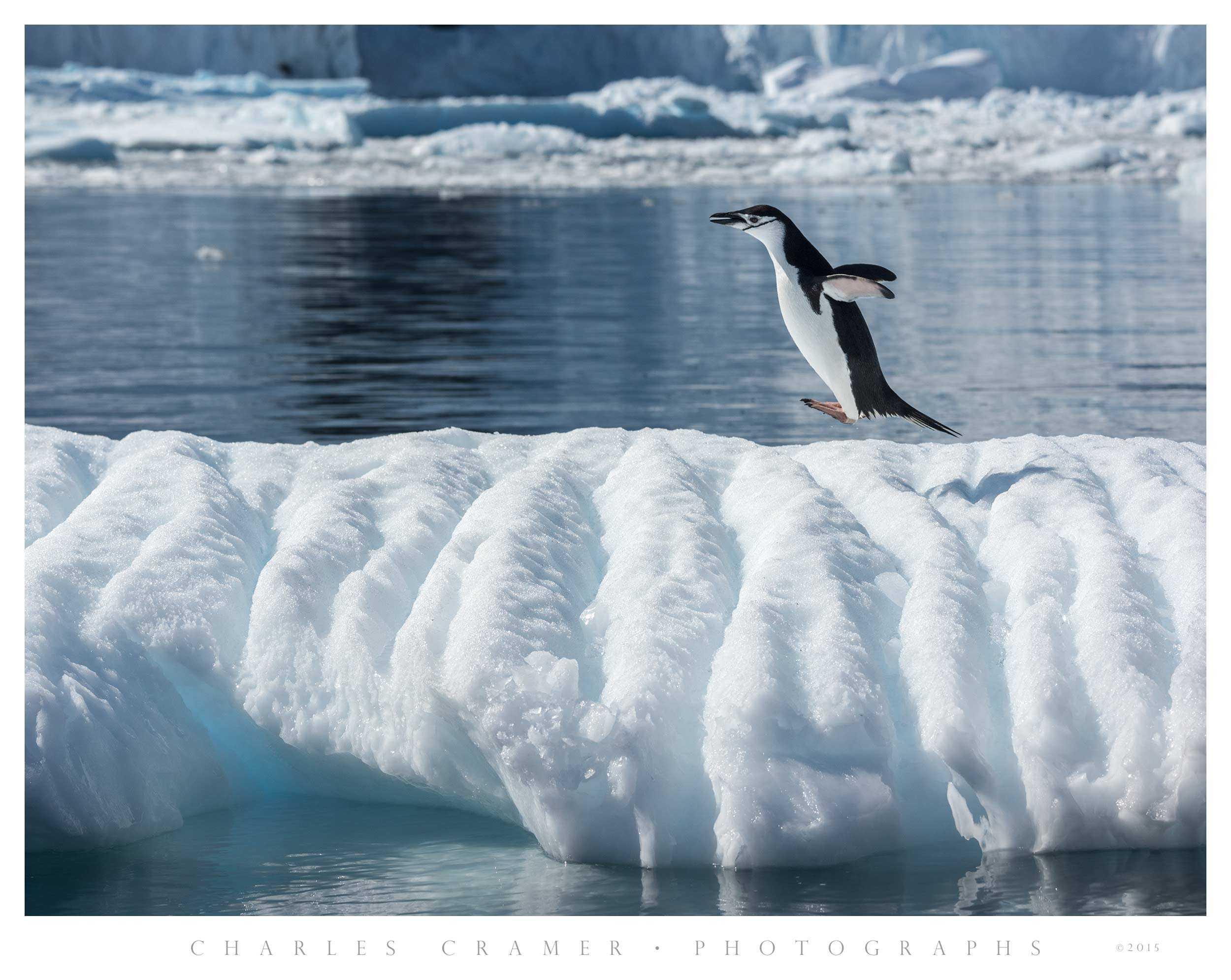 Jumping Penguin, Antarctic Peninsula