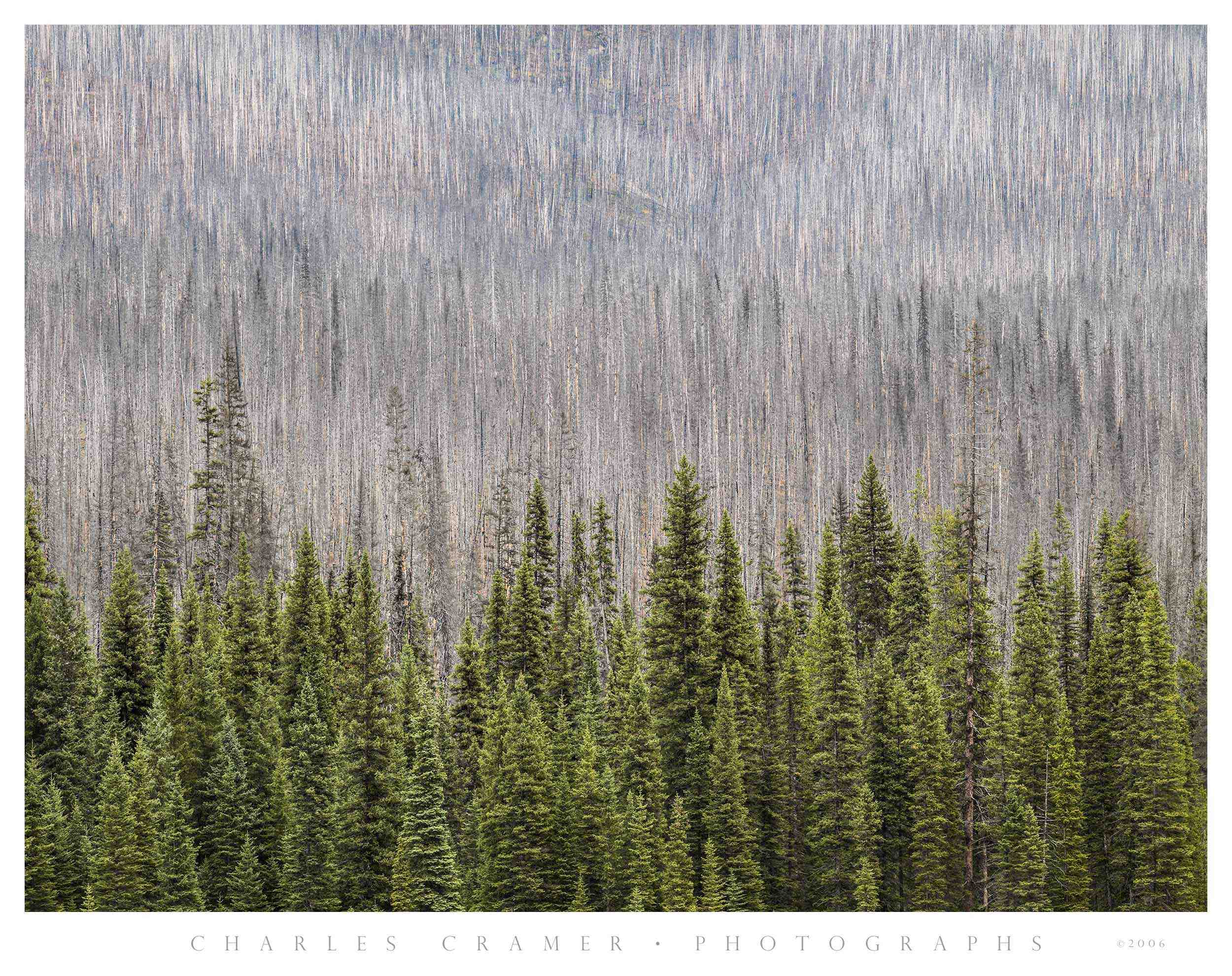 New Growth, Burned Hillside, Kootenay, Canada