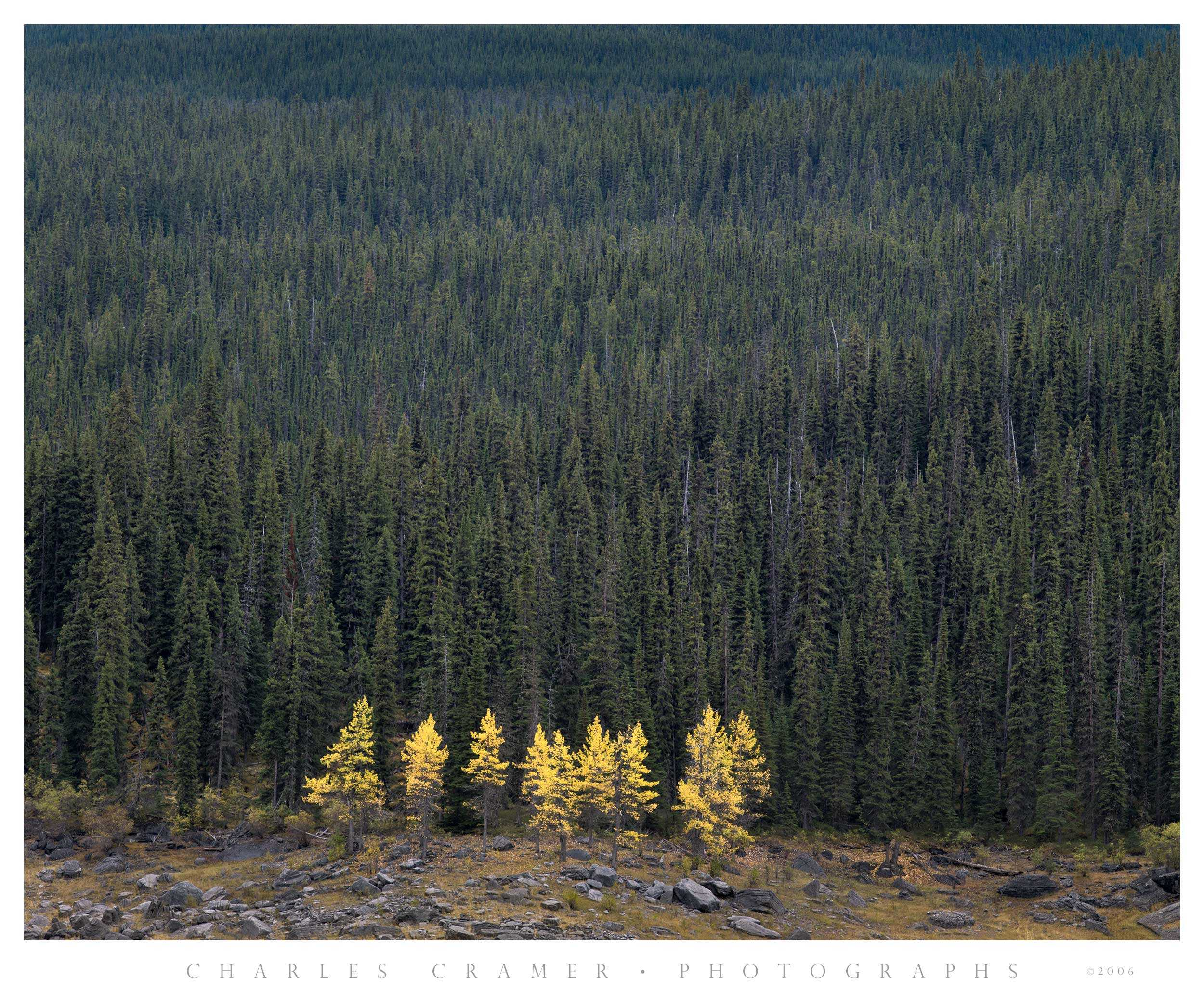 Larch Trees, Fall, Canadian Rockies