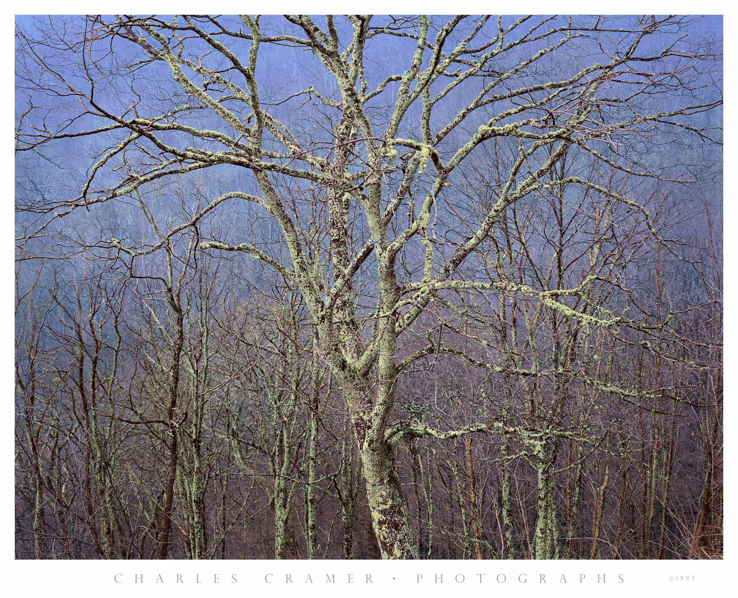 Large Tree Detail, Blue Ridge Parkway