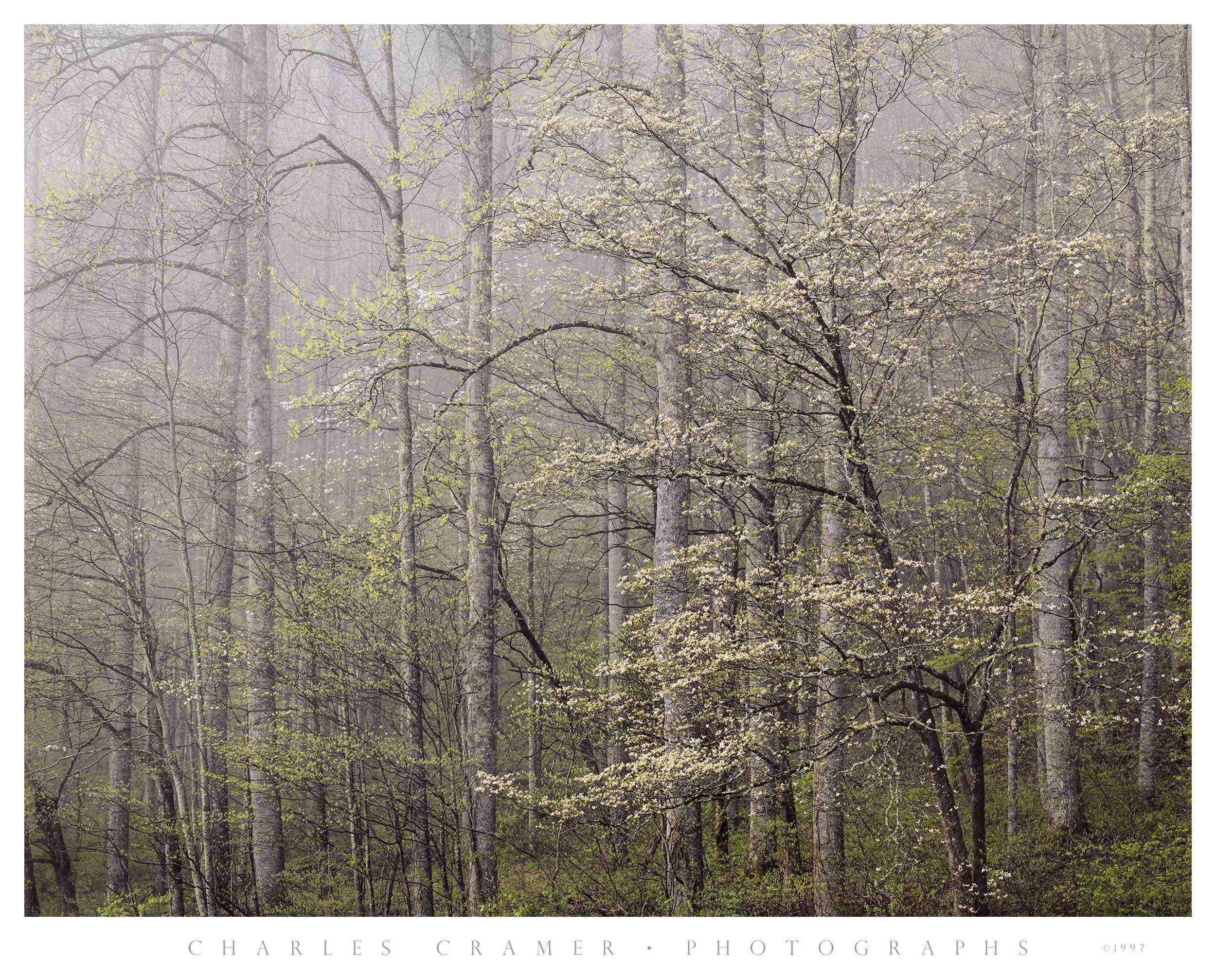 Dogwood,  Morning Fog,  Smoky Mountains