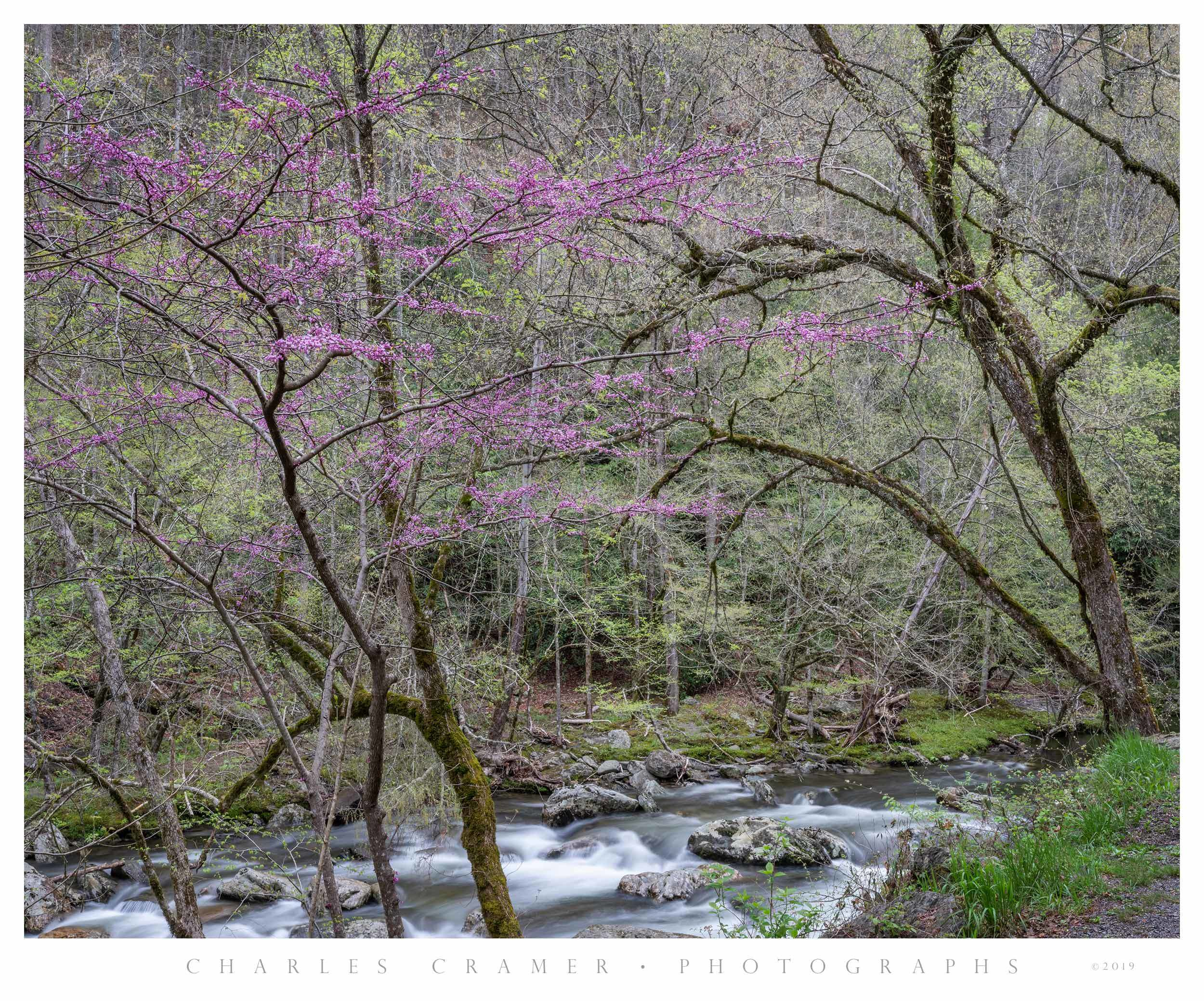 Redbud, Spring, along Little River Creek, Great Smoky Mountains