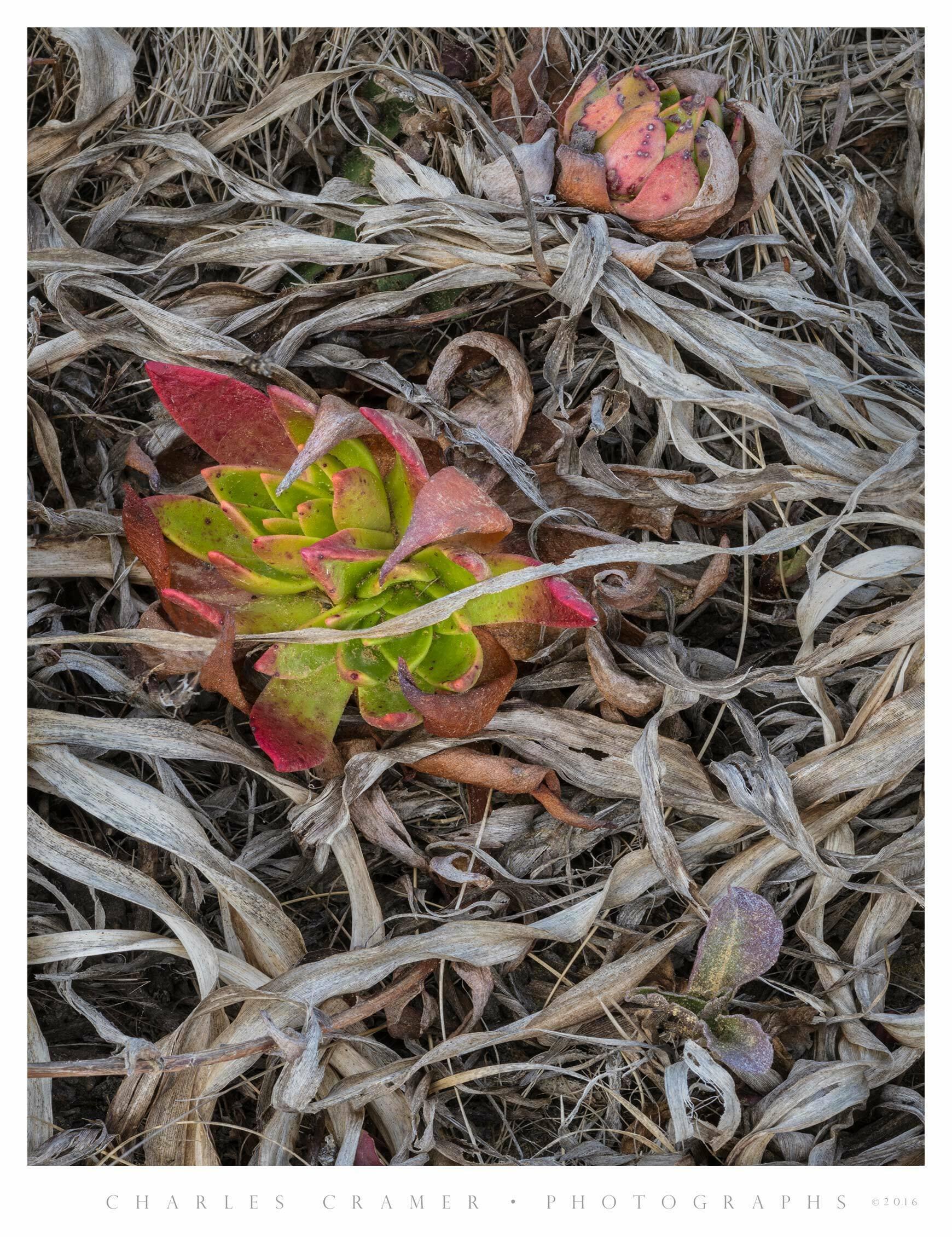 Iceplant, San Mateo Coast, California