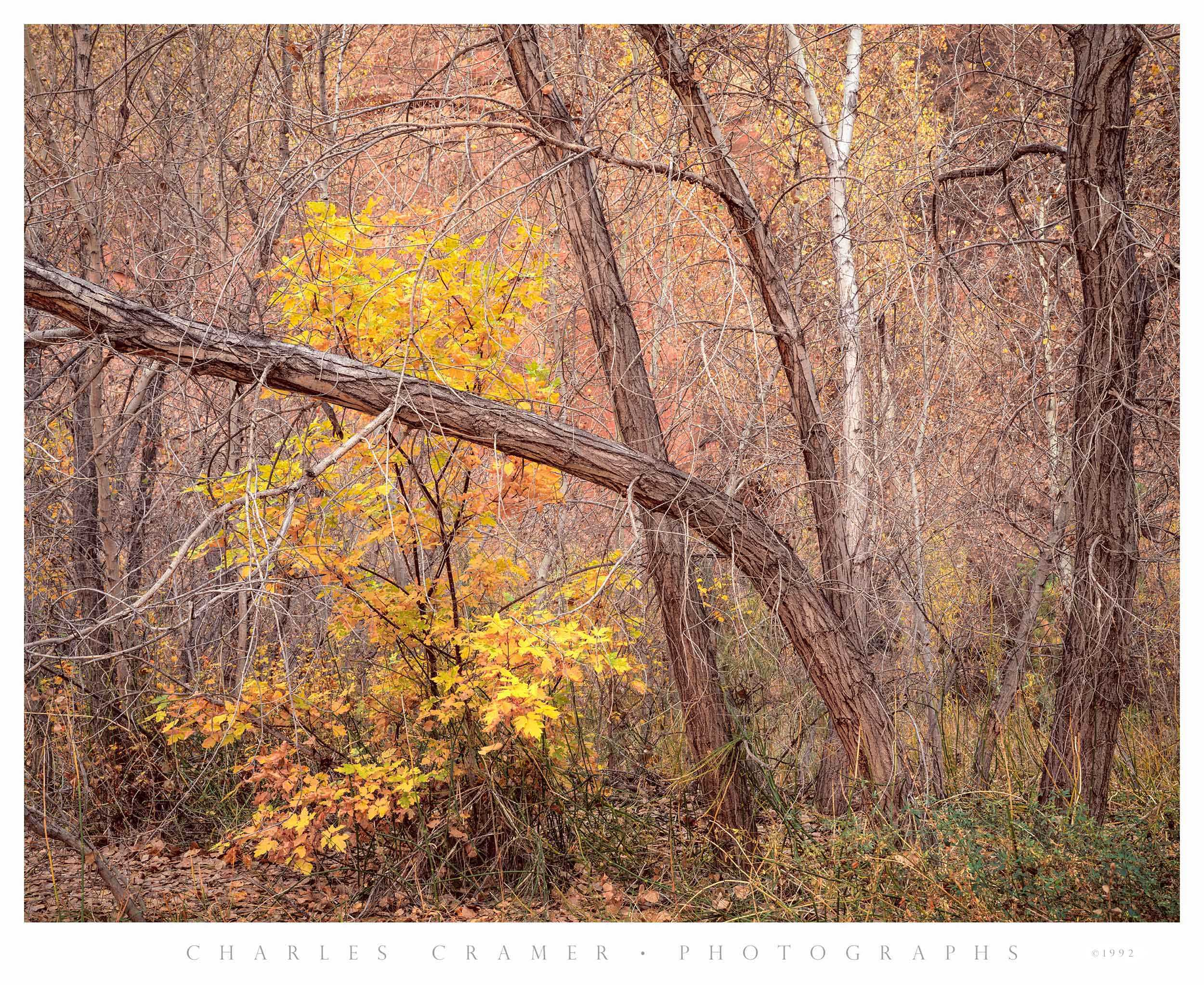 Cottonwoods, Autumn, Harris Wash, Utah