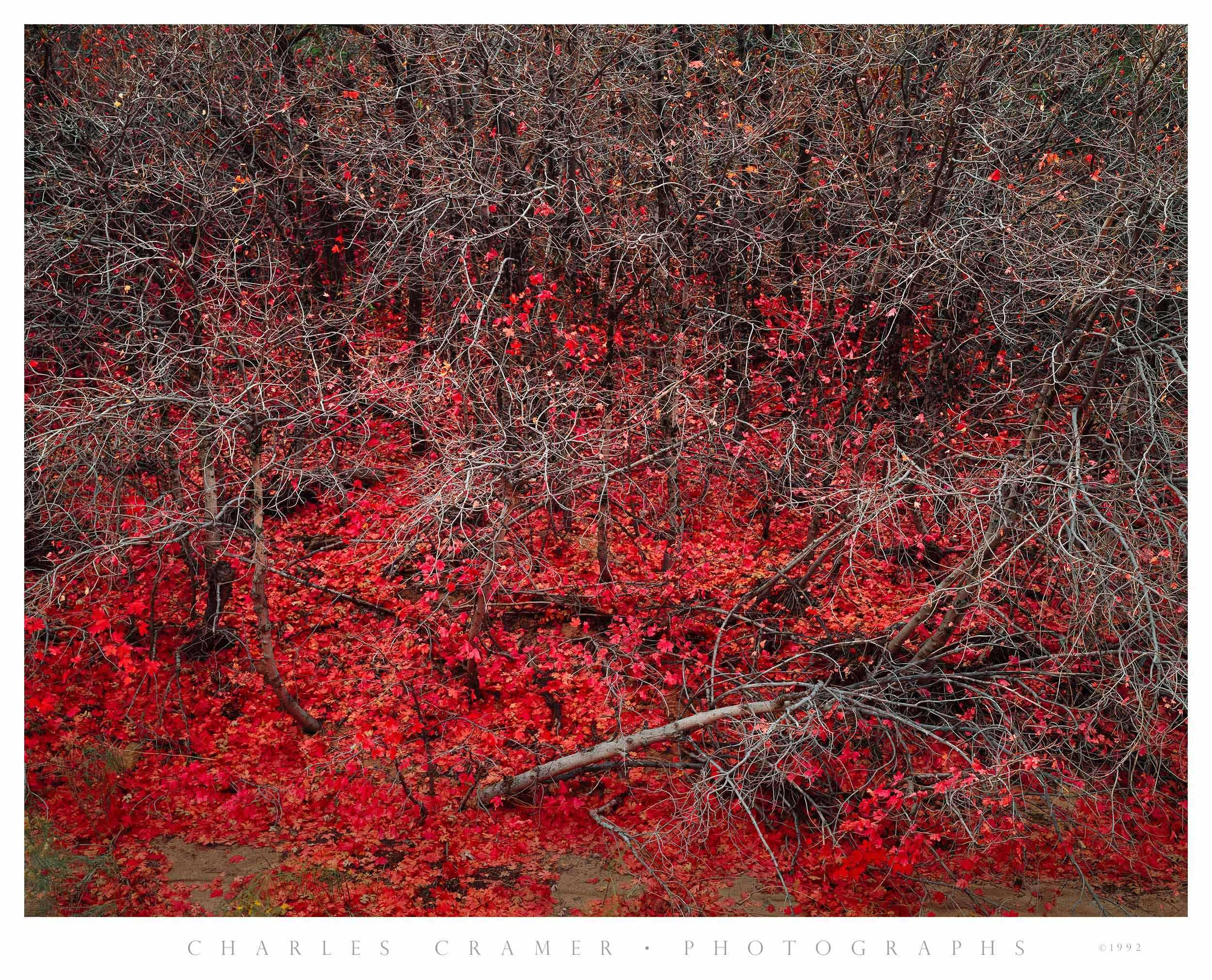 Maples, Late Autumn, Zion