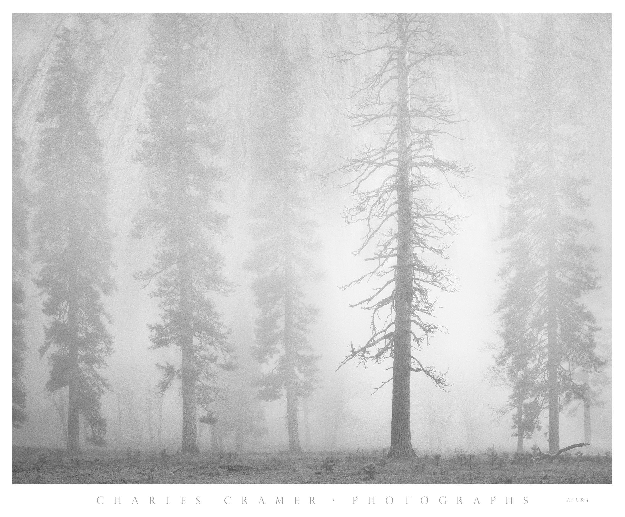Pines, Dusk, El Capitan Meadow, Yosemite