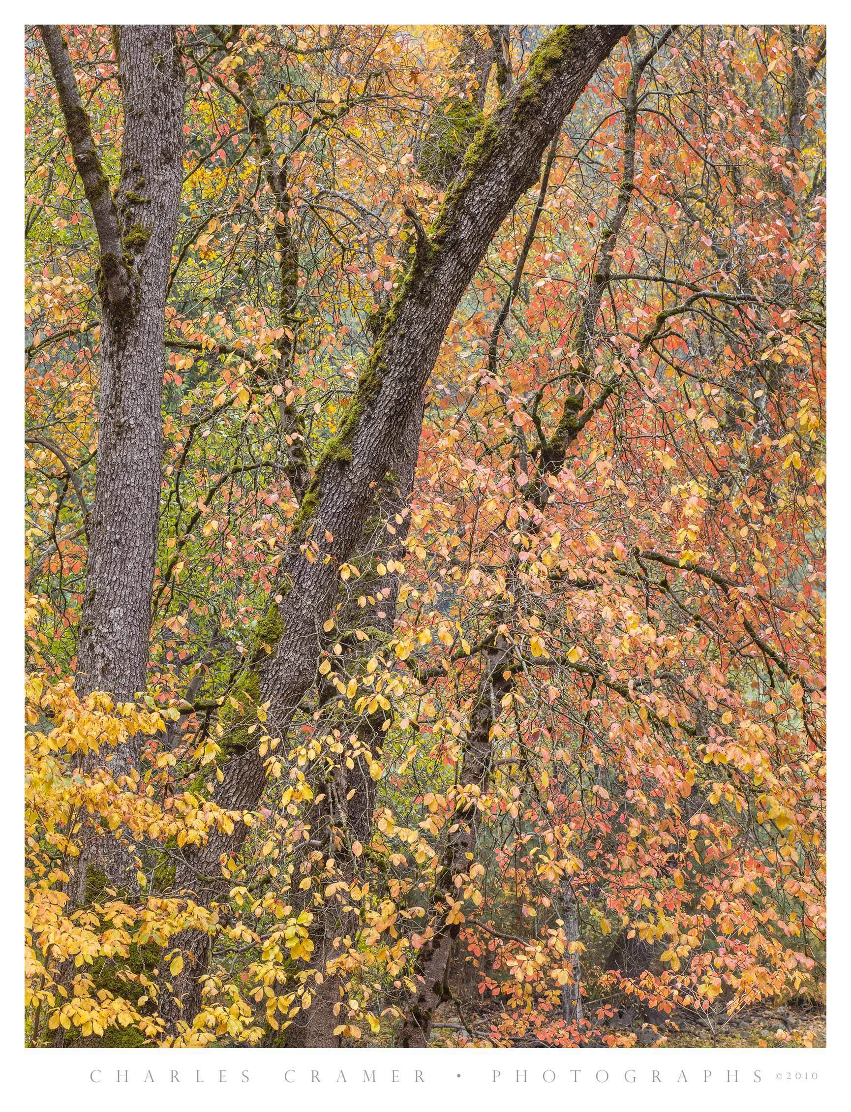 Oaks near Gates of the Valley, Fall, Yosemite