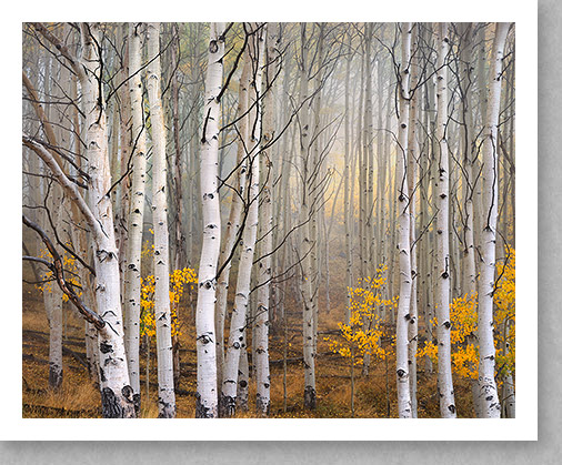 Aspen Trees in Fog